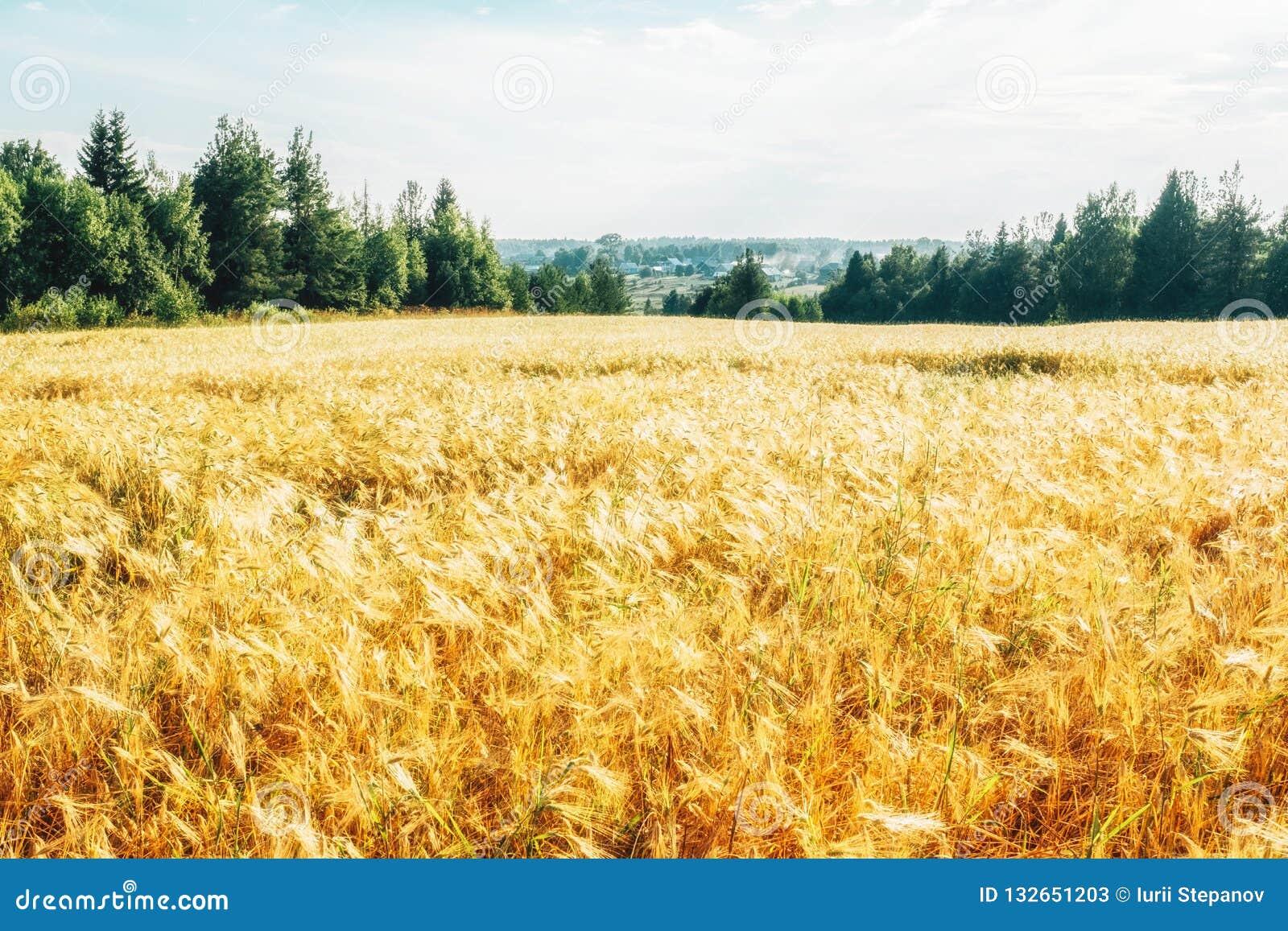 Campo de trigo dourado com floresta verde