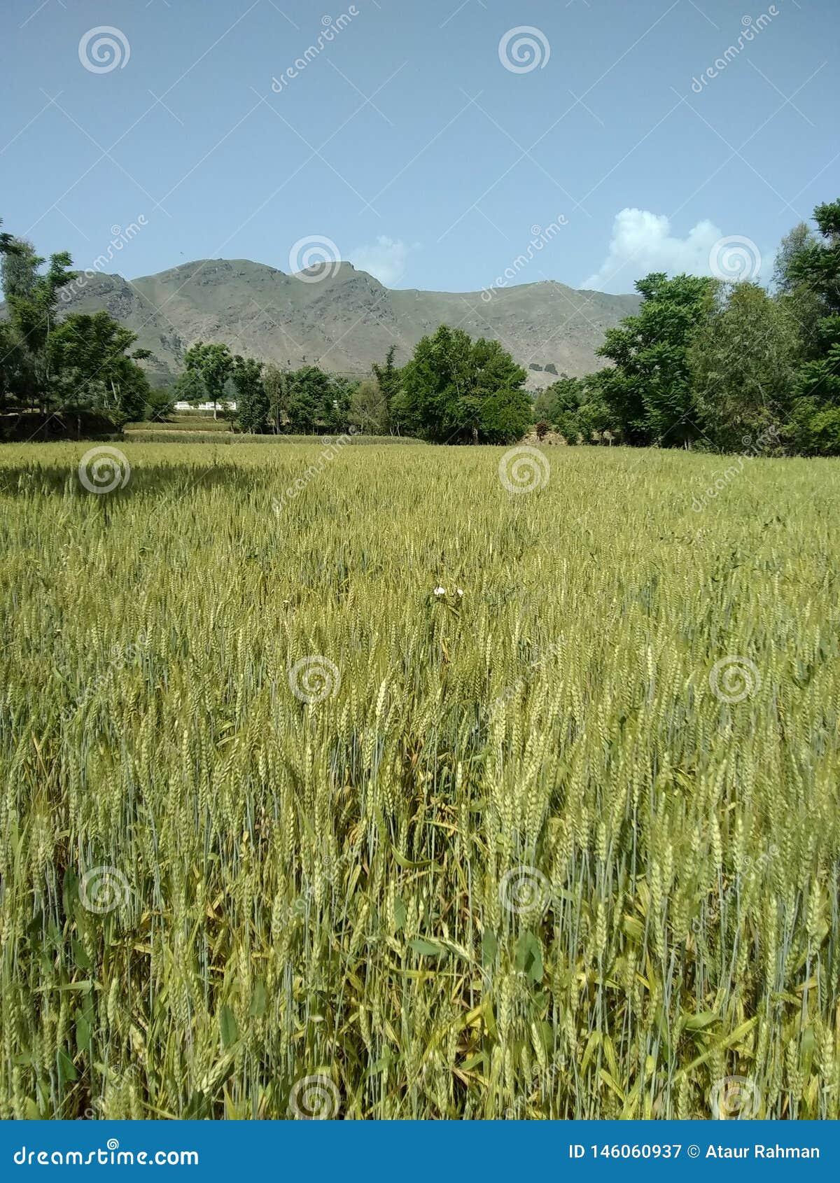 Campo de trigo en el bajaur Paquistán