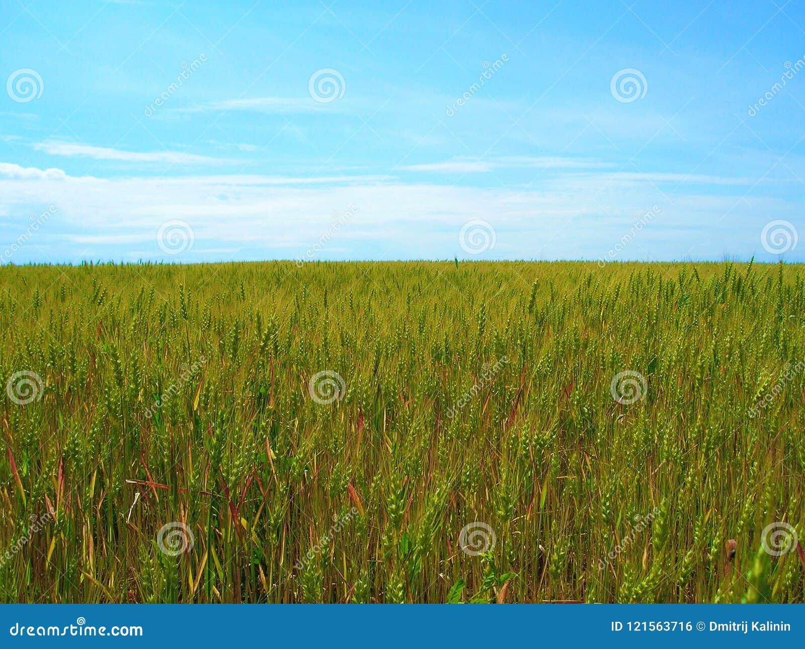 Campo de trigo en fondo del cielo azul
