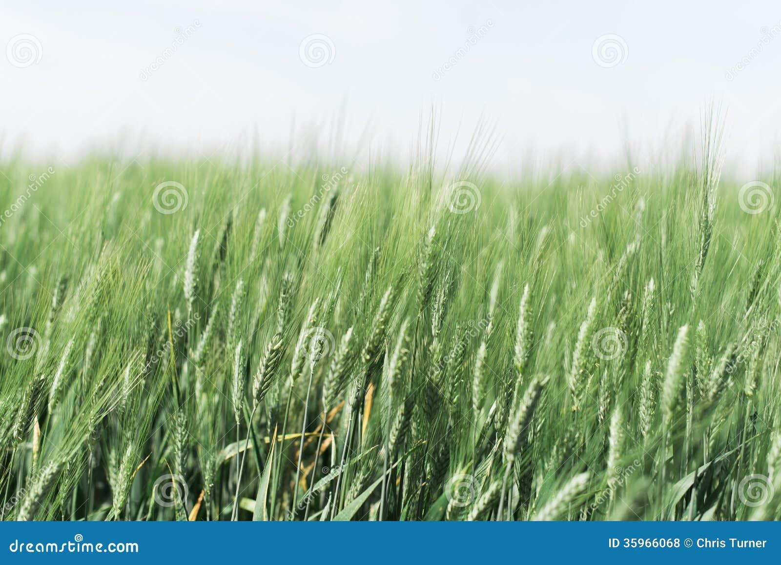 Campo de trigo nebuloso