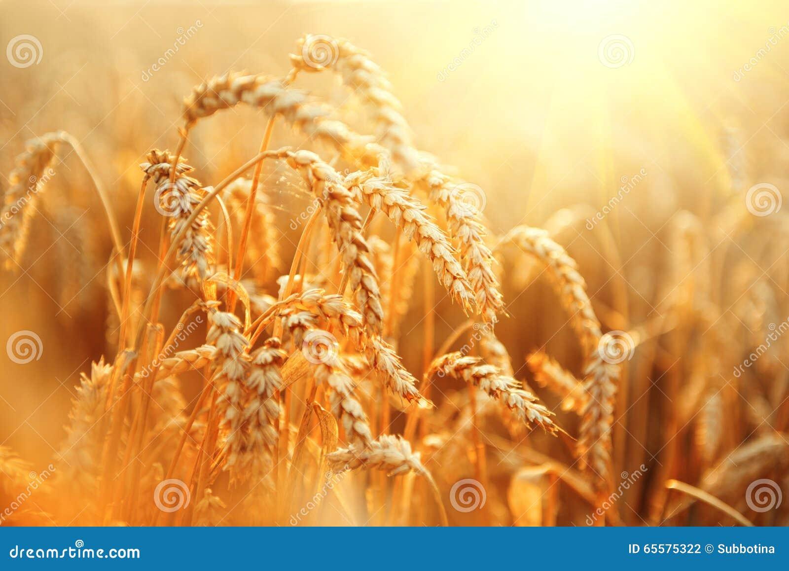 Campo de trigo Orelhas do close up dourado do trigo