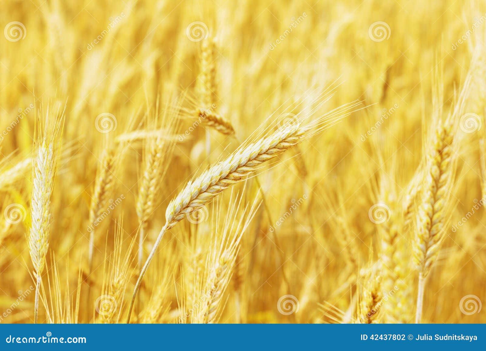 Campo de trigo y oído del trigo,