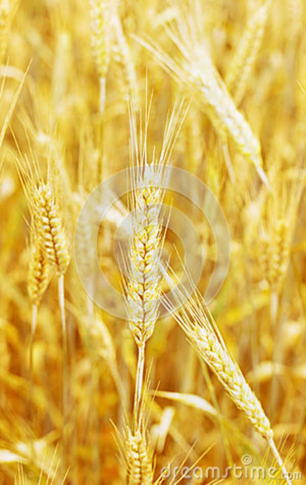 Campo de trigo y oído del trigo