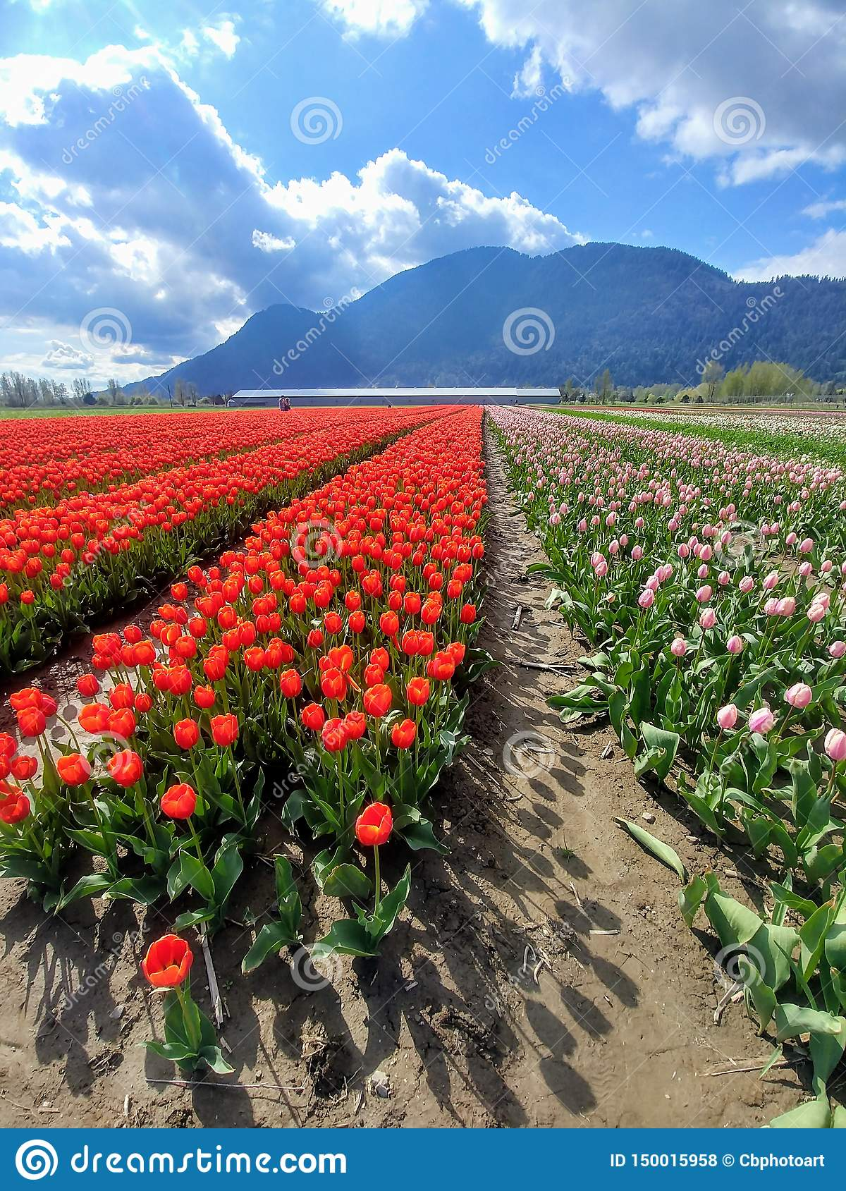 Campo de tulipanes rojos y rosados brillantes en la floración en primavera con las montañas azules en fondo