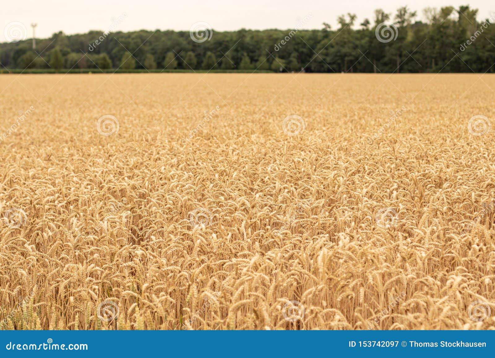 Campo de Wheath, poco antes cosecha