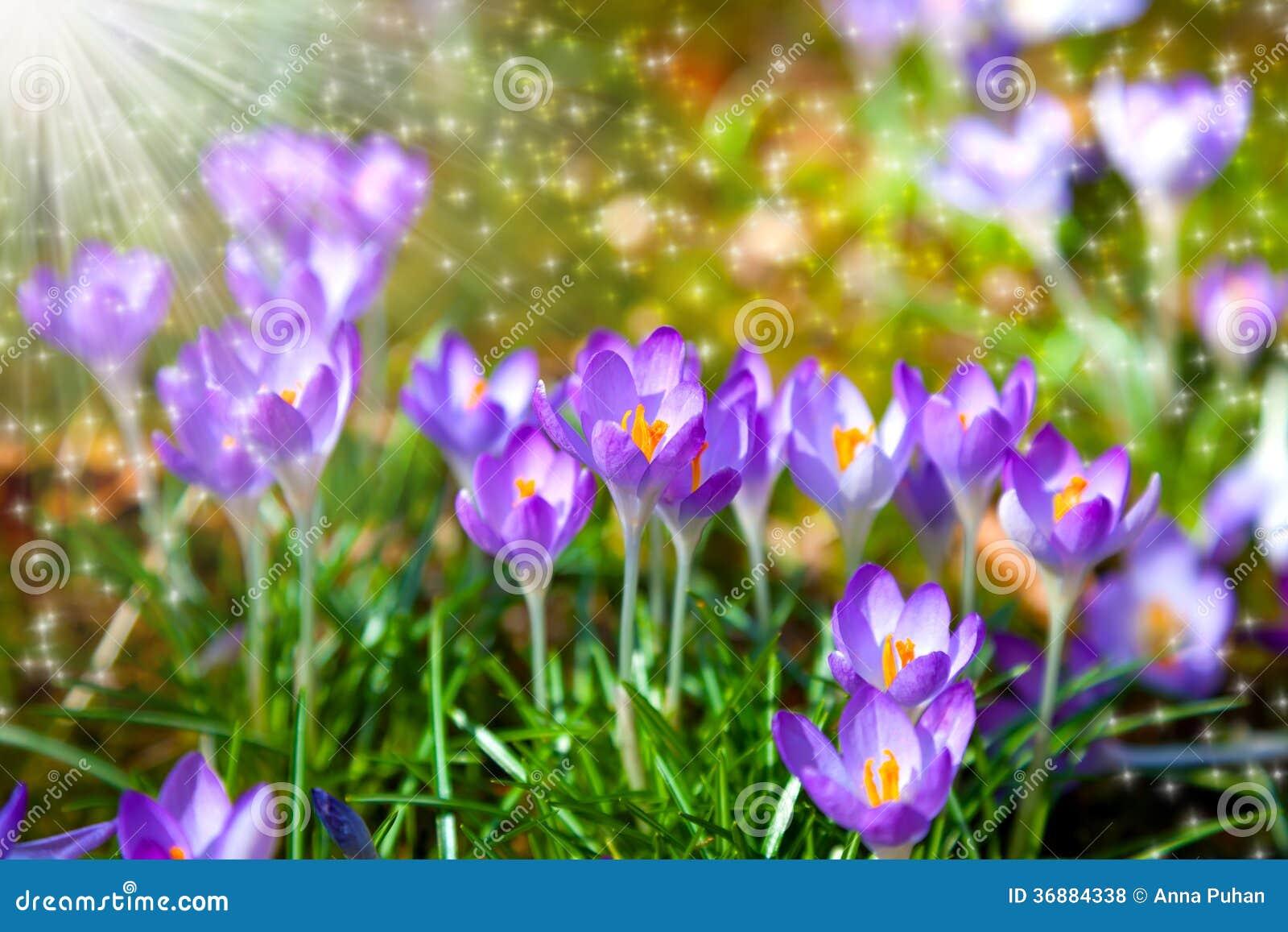 Download Campo dei croco fotografia stock. Immagine di giardino - 36884338
