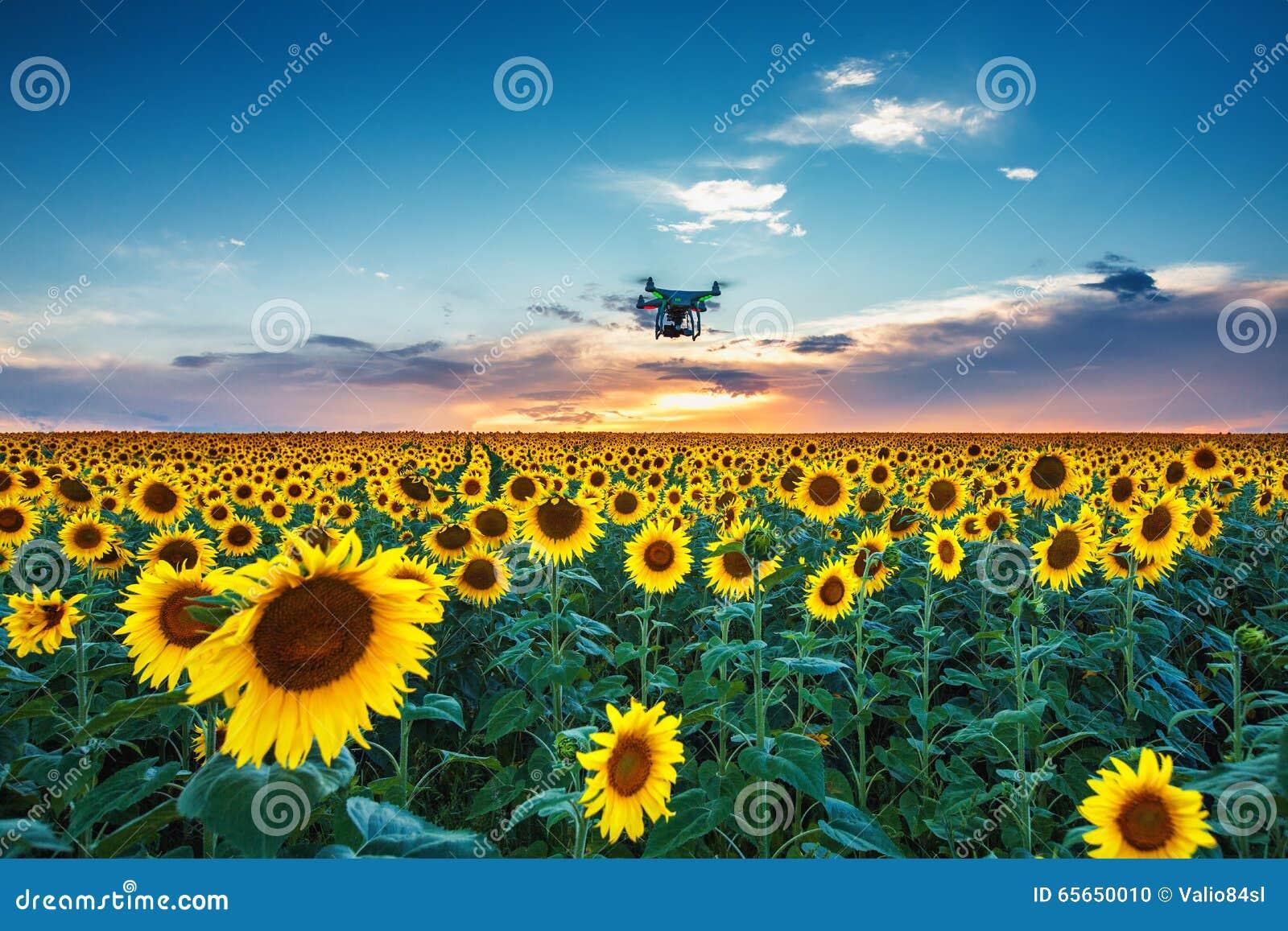 Campo dei girasoli di fioritura su un tramonto del fondo