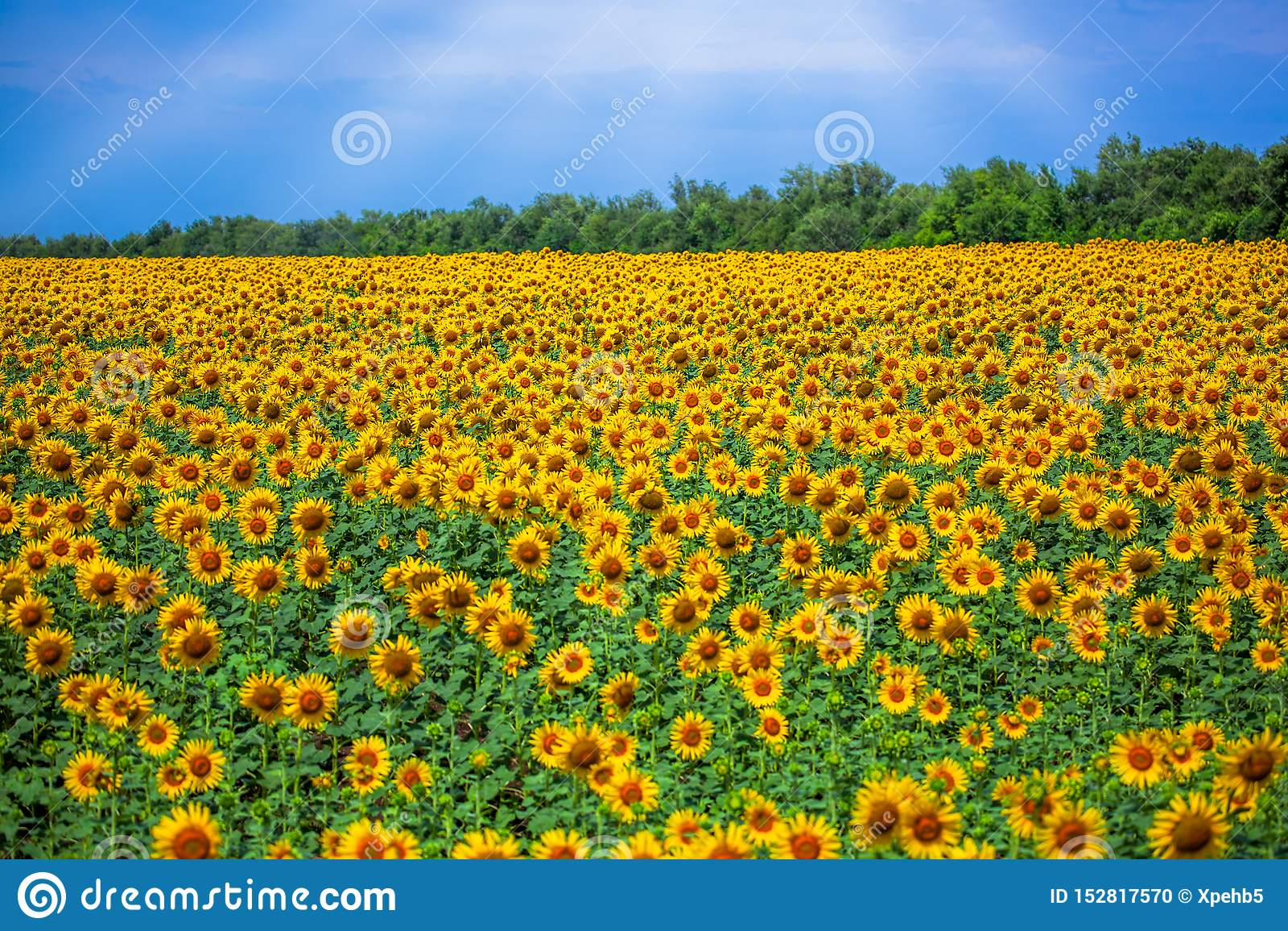 Campo dei girasoli gialli