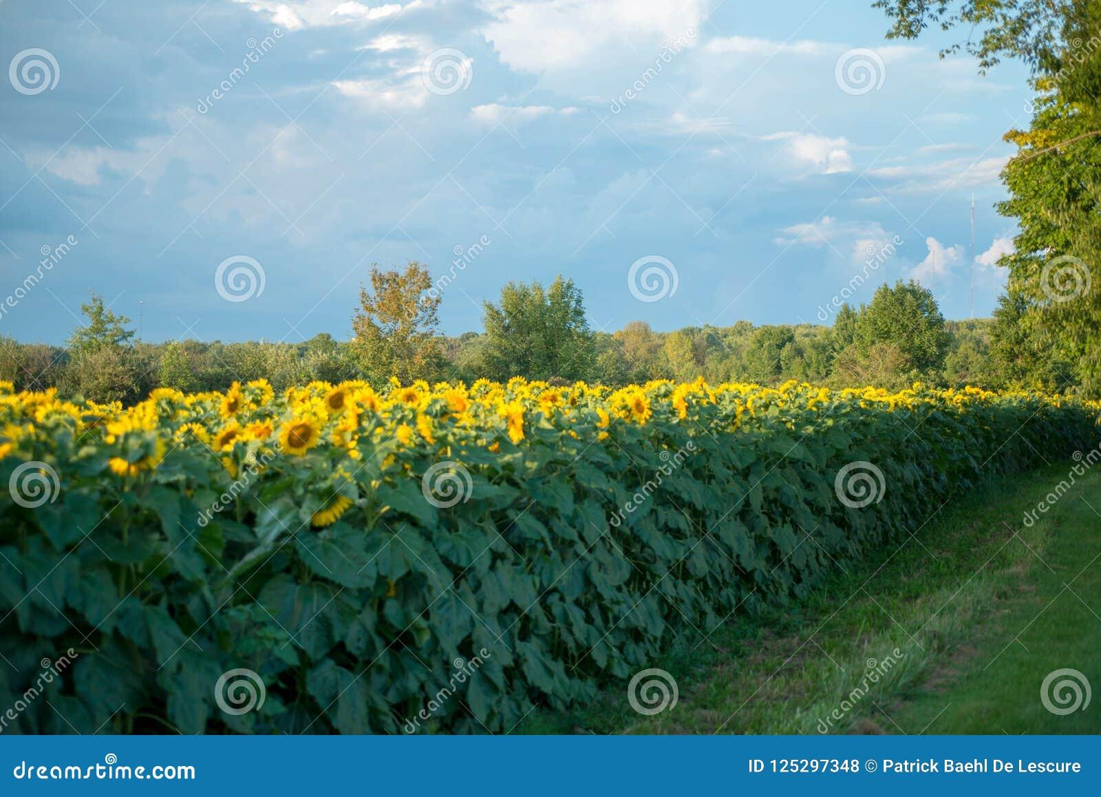 Campo dei girasoli in piena fioritura