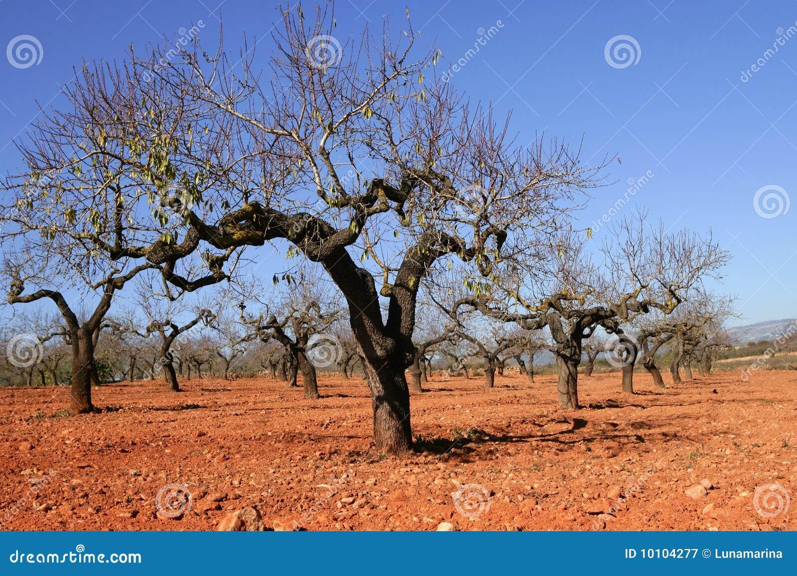 Campo del árbol de melocotón en suelo rojo