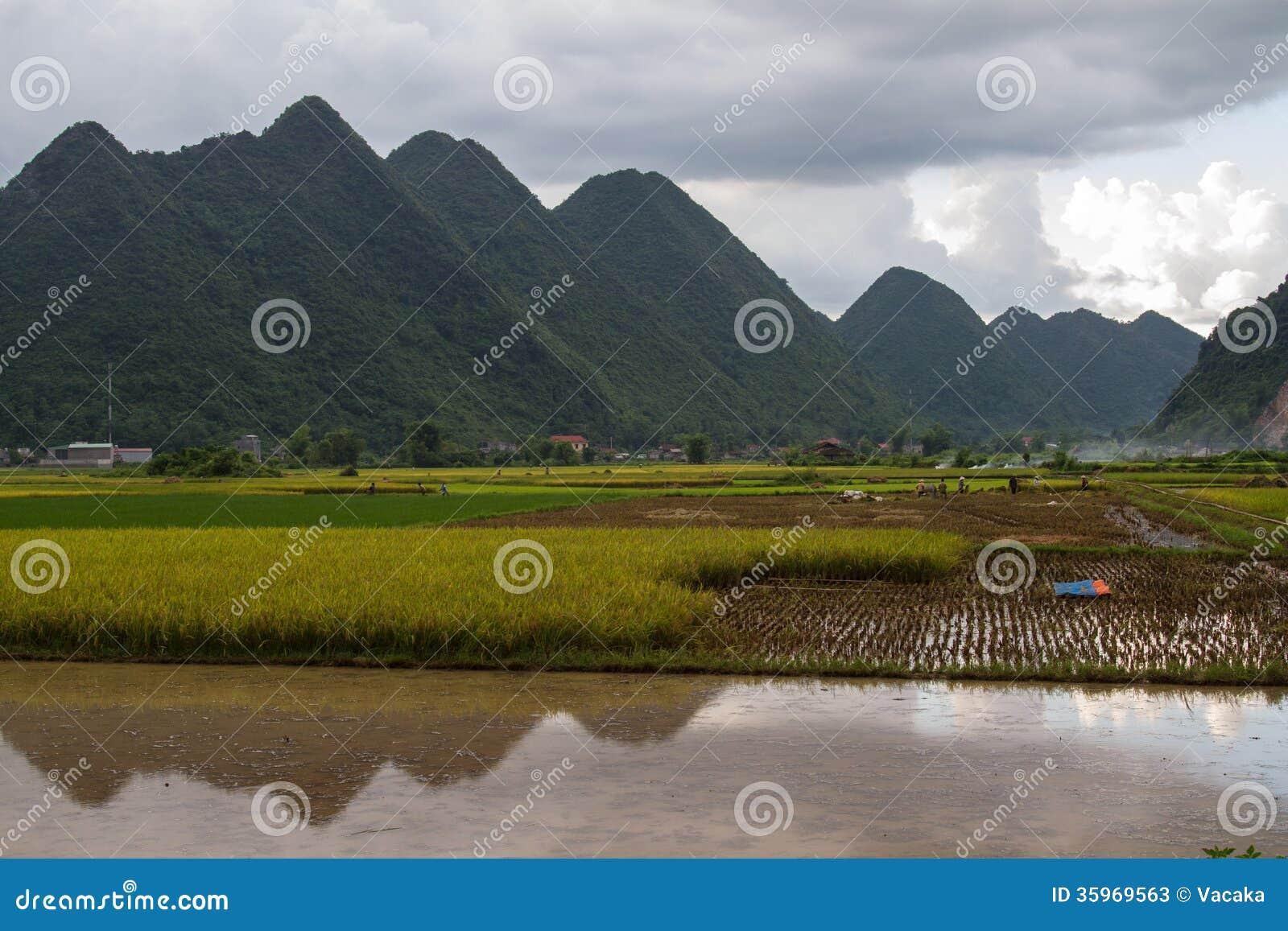 Campo del arroz de Bac Son