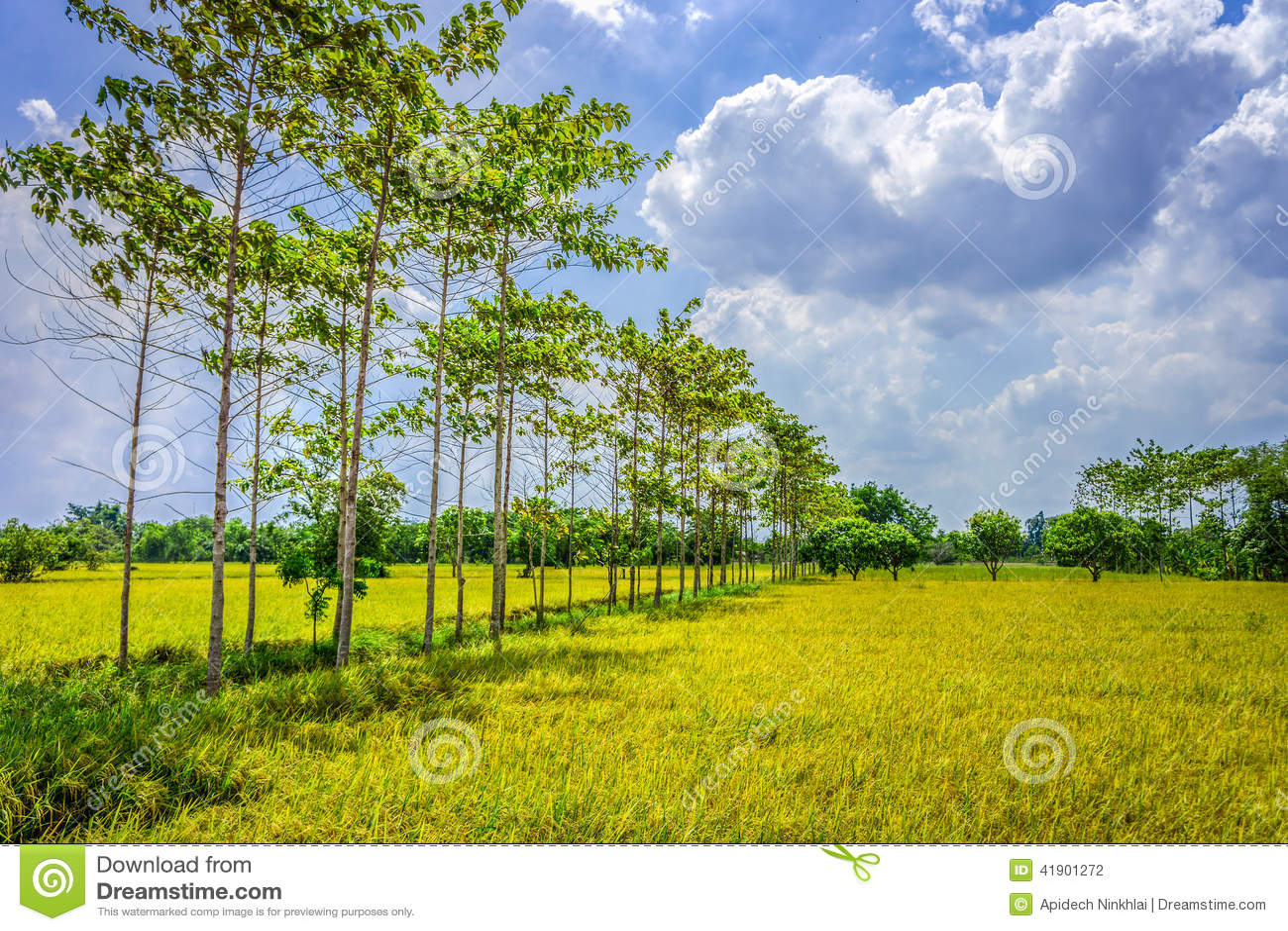 Campo del arroz en el campo de Tailandia