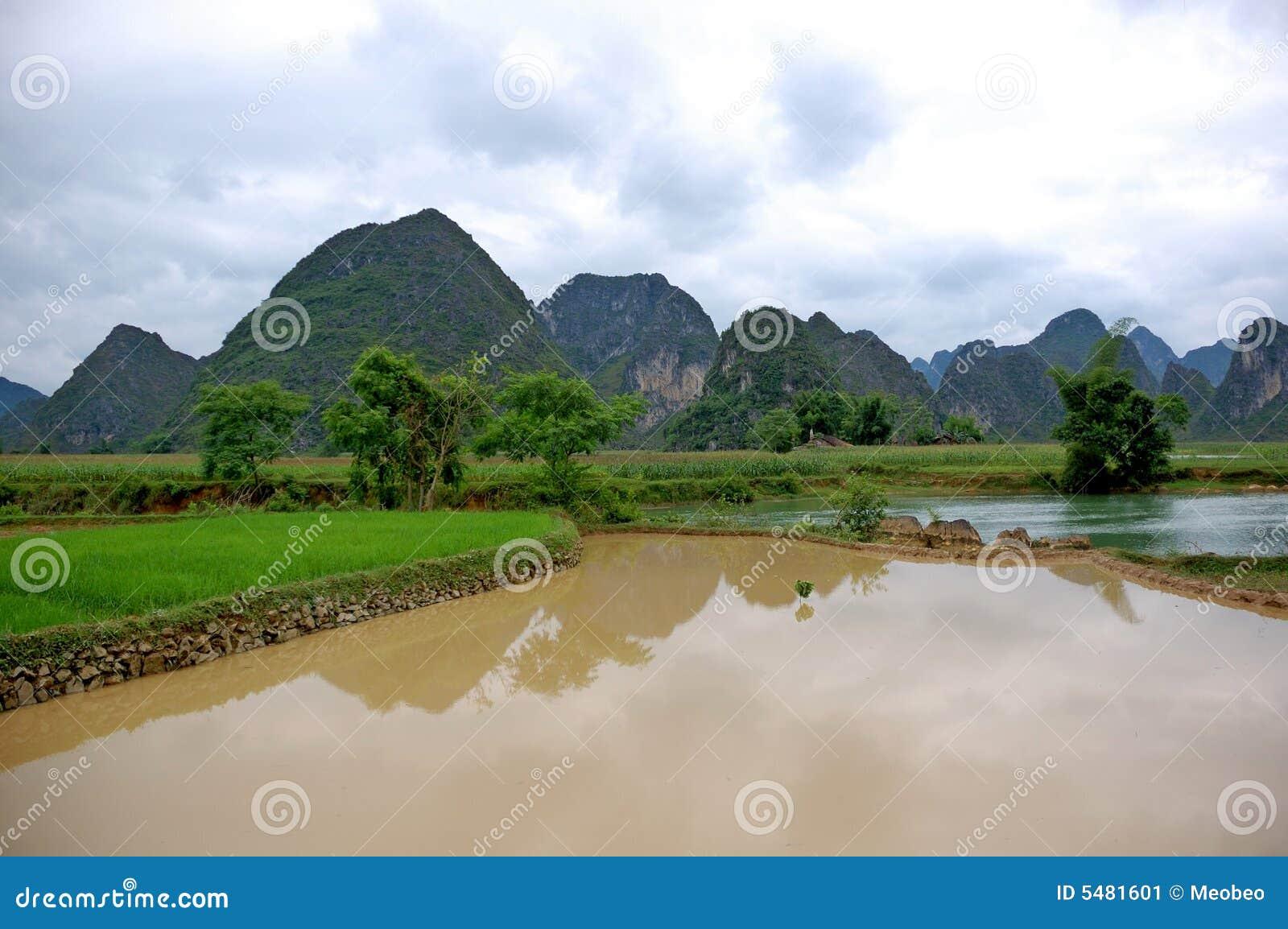 Campo del arroz en el valle