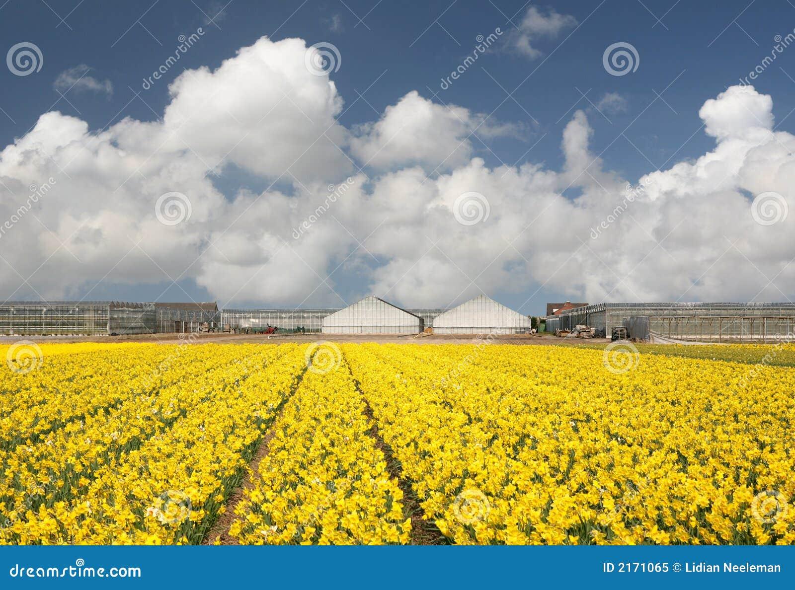Campo del Daffodil