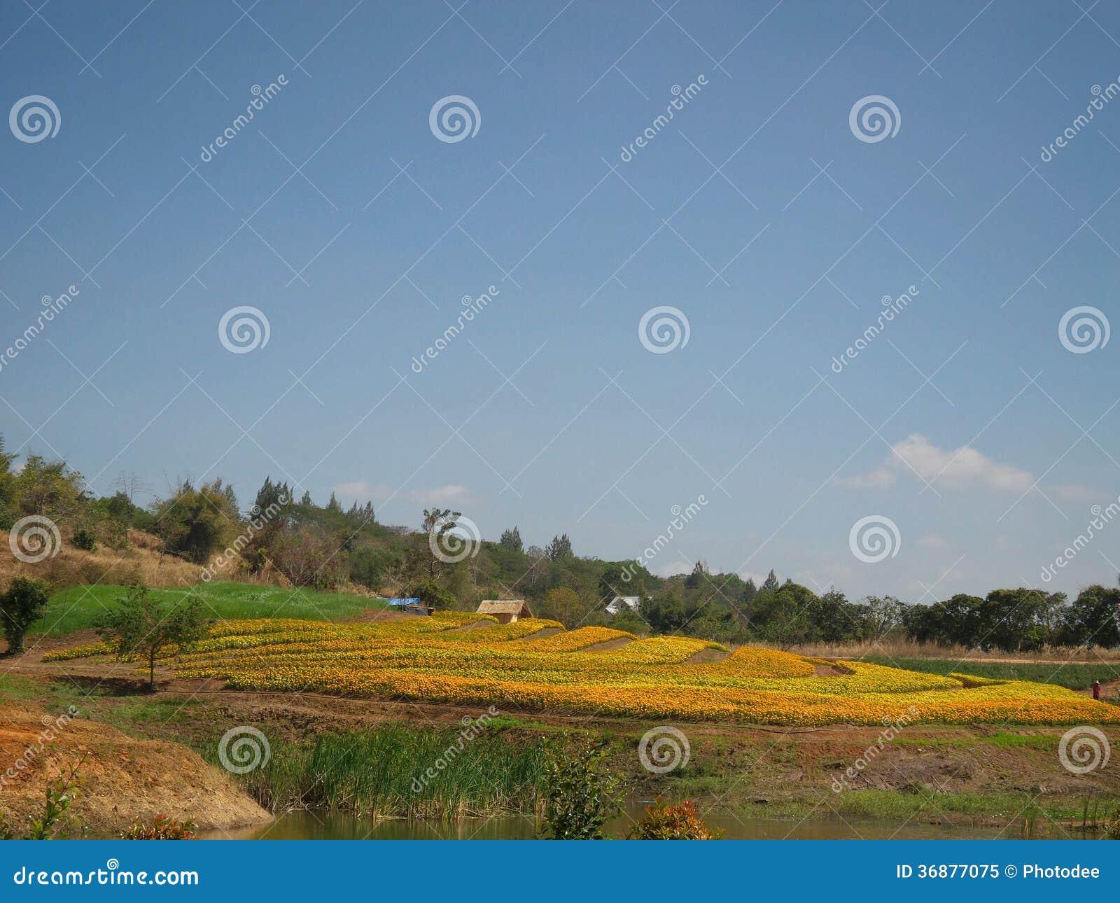Download Campo del fiore del tagete immagine stock. Immagine di ambiente - 36877075