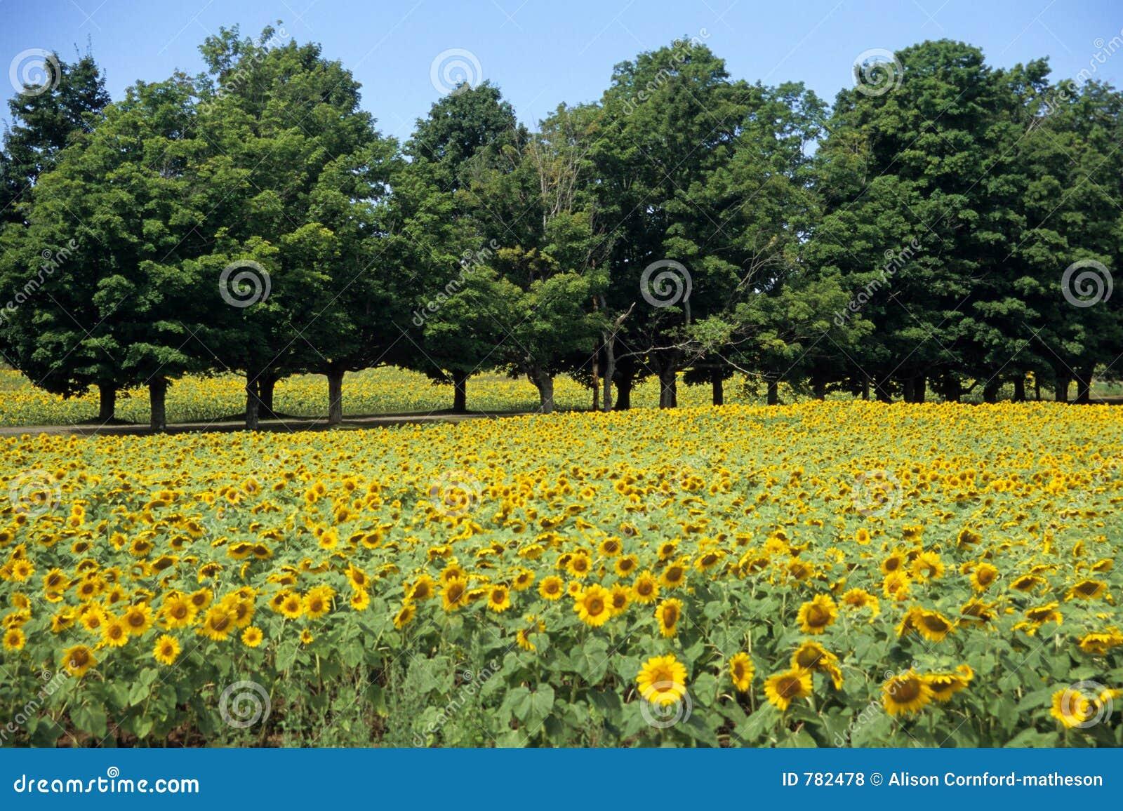 Campo del girasol con los árboles
