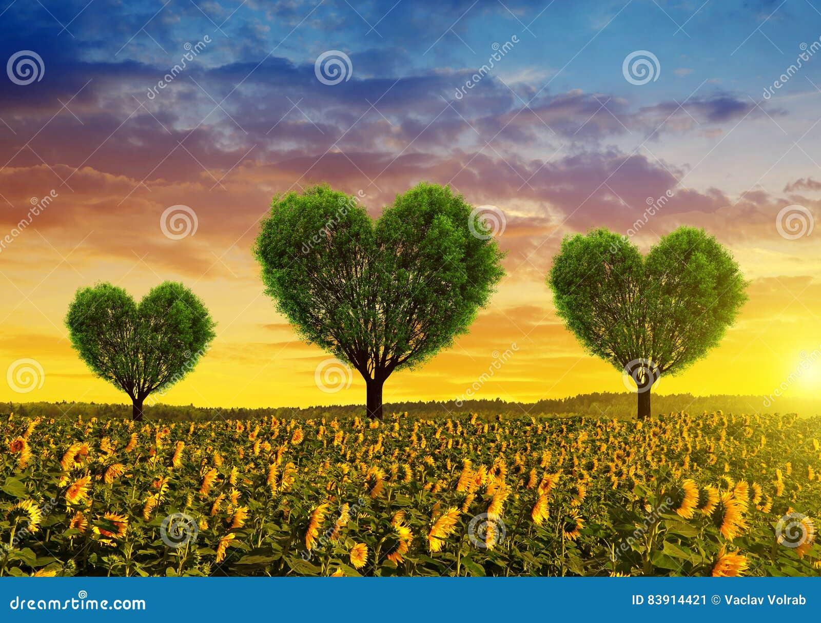 Campo del girasol con los árboles en la forma del corazón en la puesta del sol
