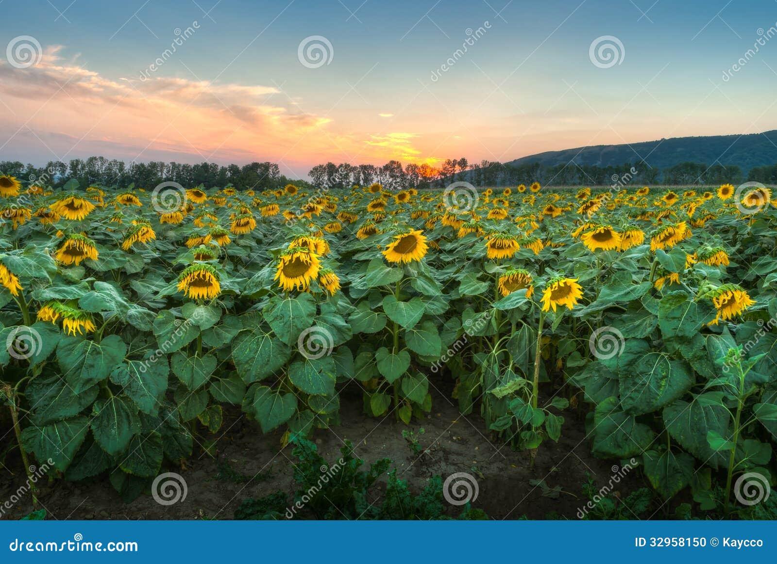 Campo del girasol en la puesta del sol