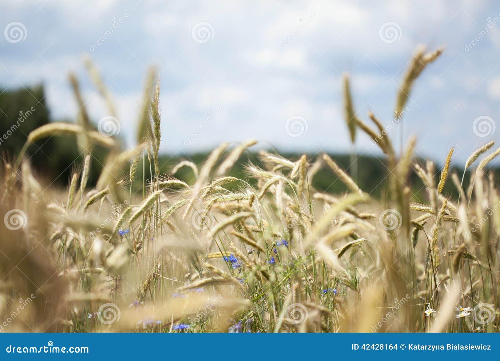 Campo del grano