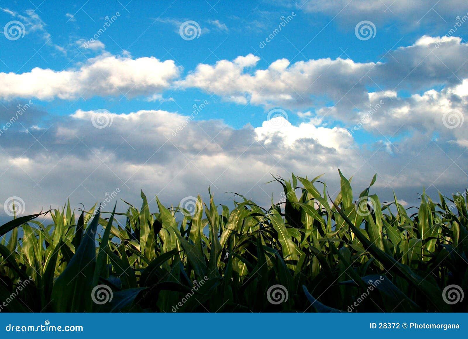 Campo del maíz