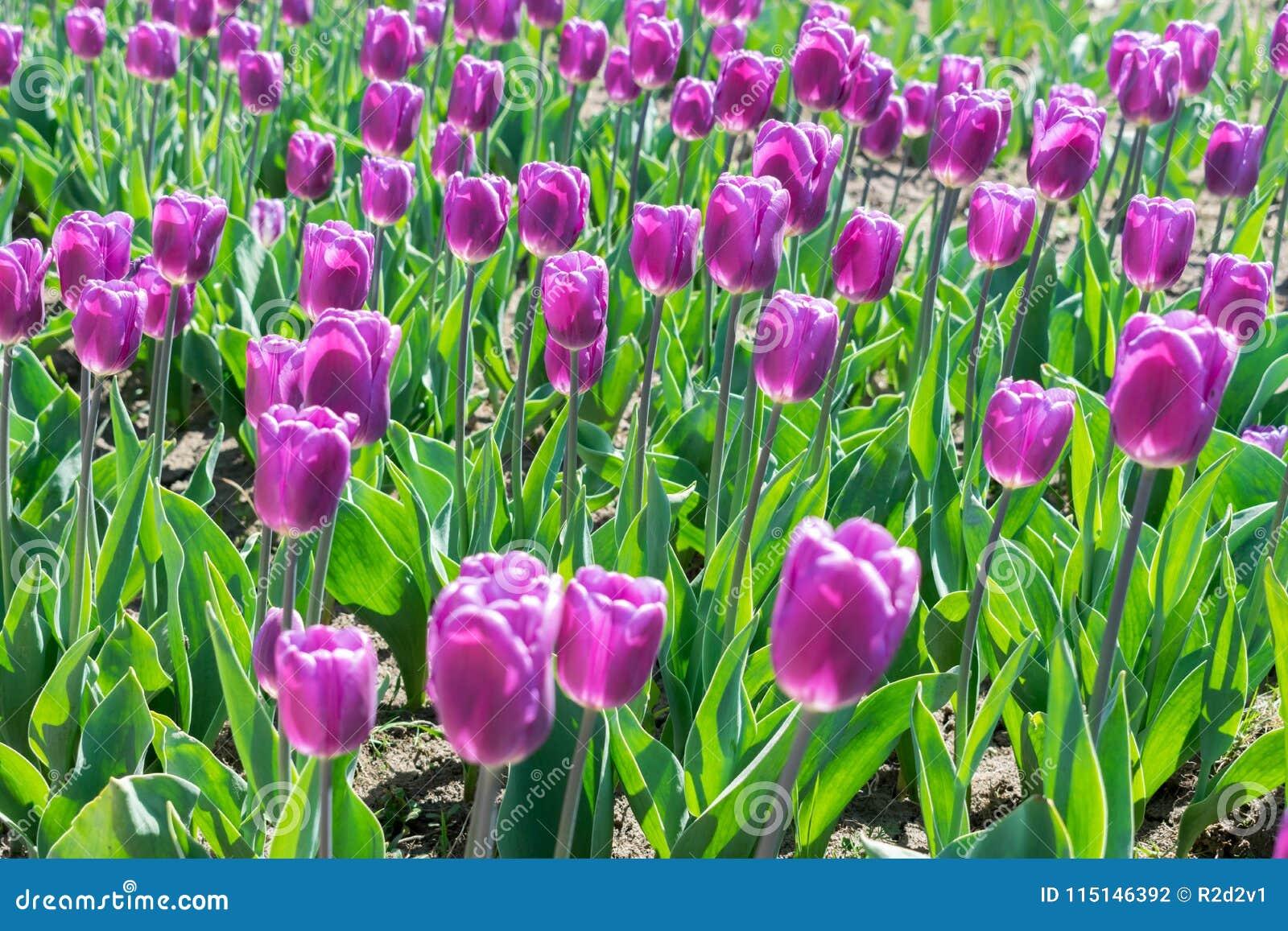 Campo del misterio del árabe de los tulipanes