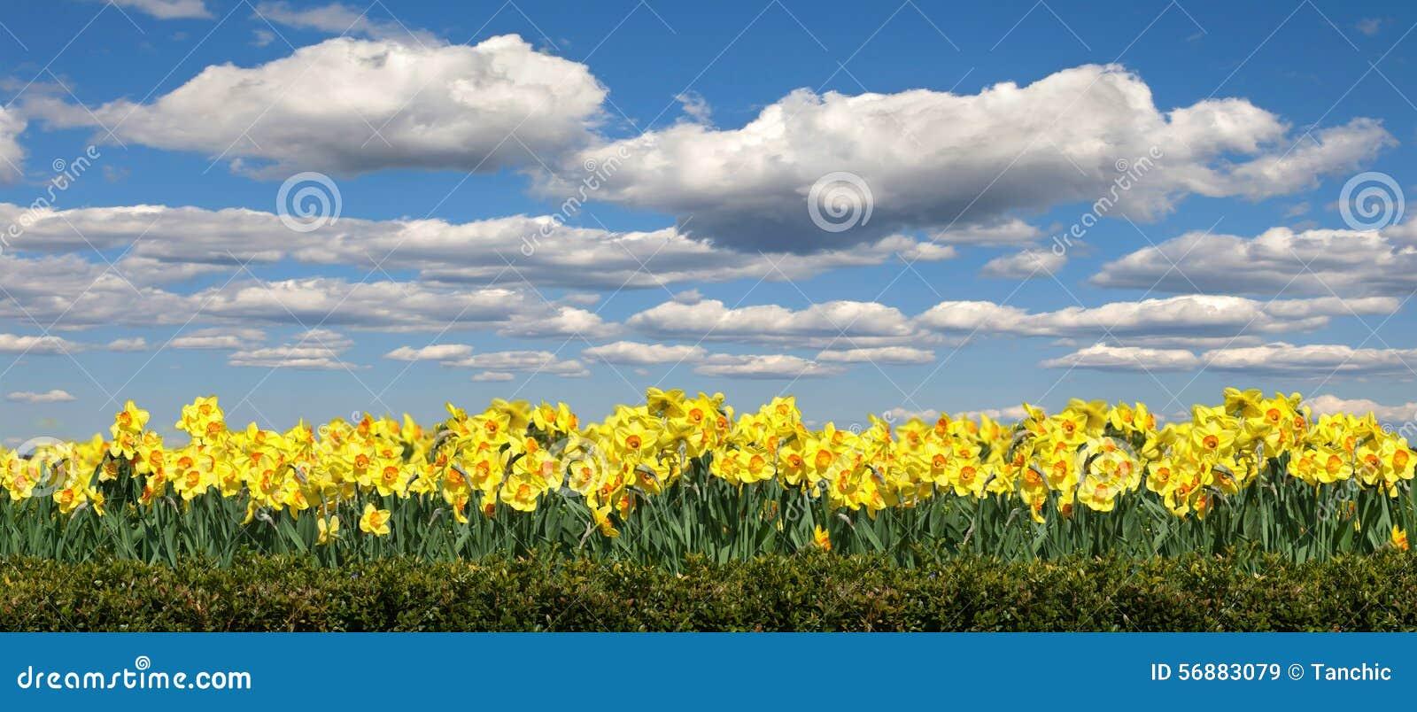 Campo del narciso dei fiori sui precedenti