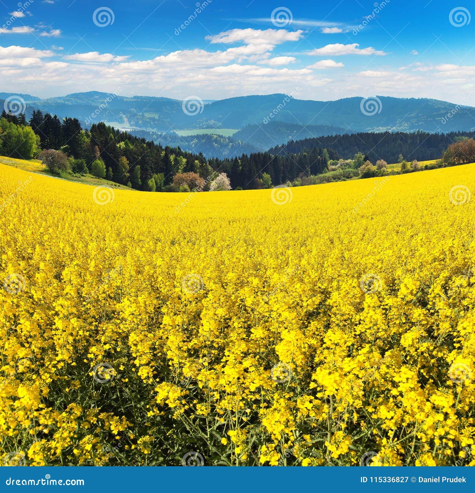 Campo del seme di ravizzone, del canola o della colza