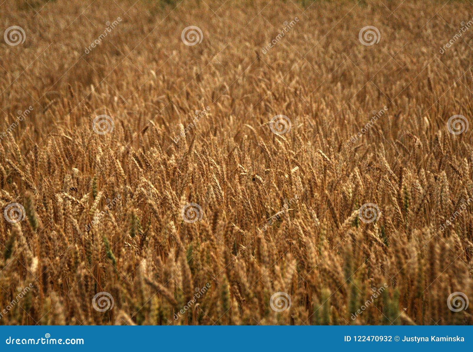 Campo del trigo de oro