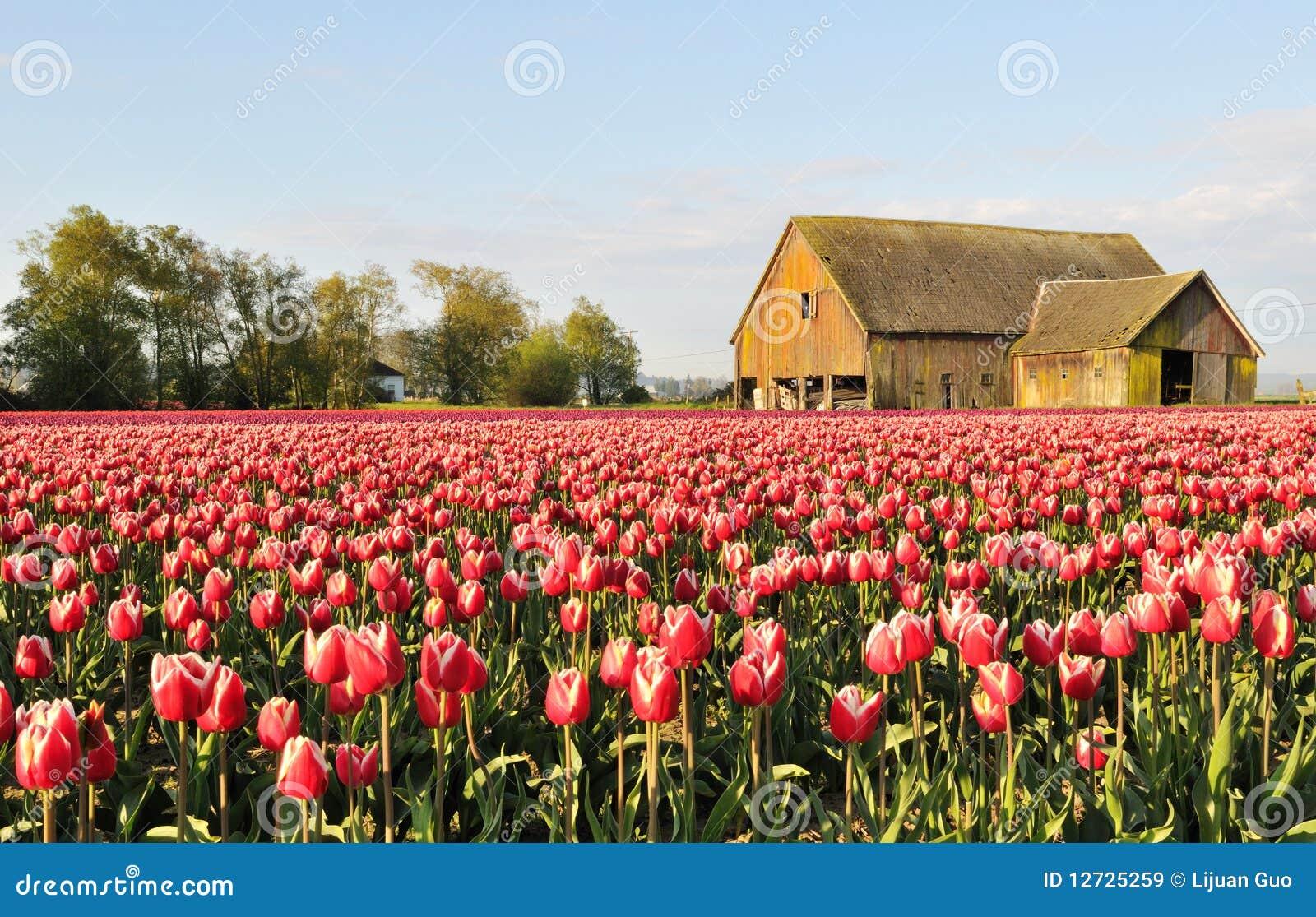 Campo del tulipán con el granero viejo dilapidado