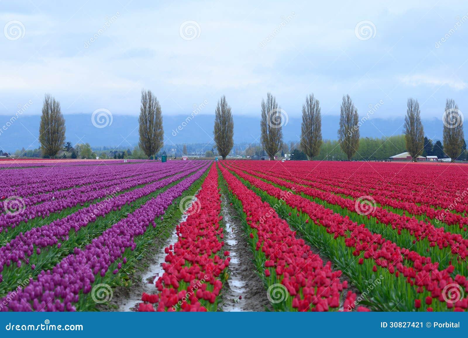 Campo del tulipano
