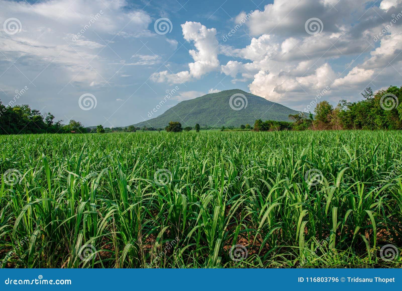 Campo dell azienda agricola dello zucchero con mounain