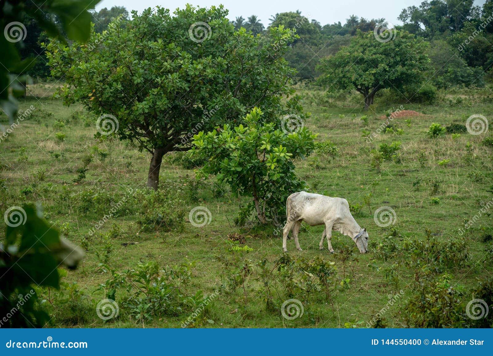 Campo della mucca nel pascolo