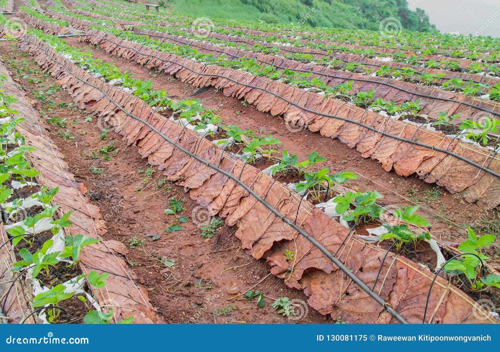 Campo di agricoltura della montagna Scena di verdure della piantagione in lunedì Cham una cresta della collina nell area del vill