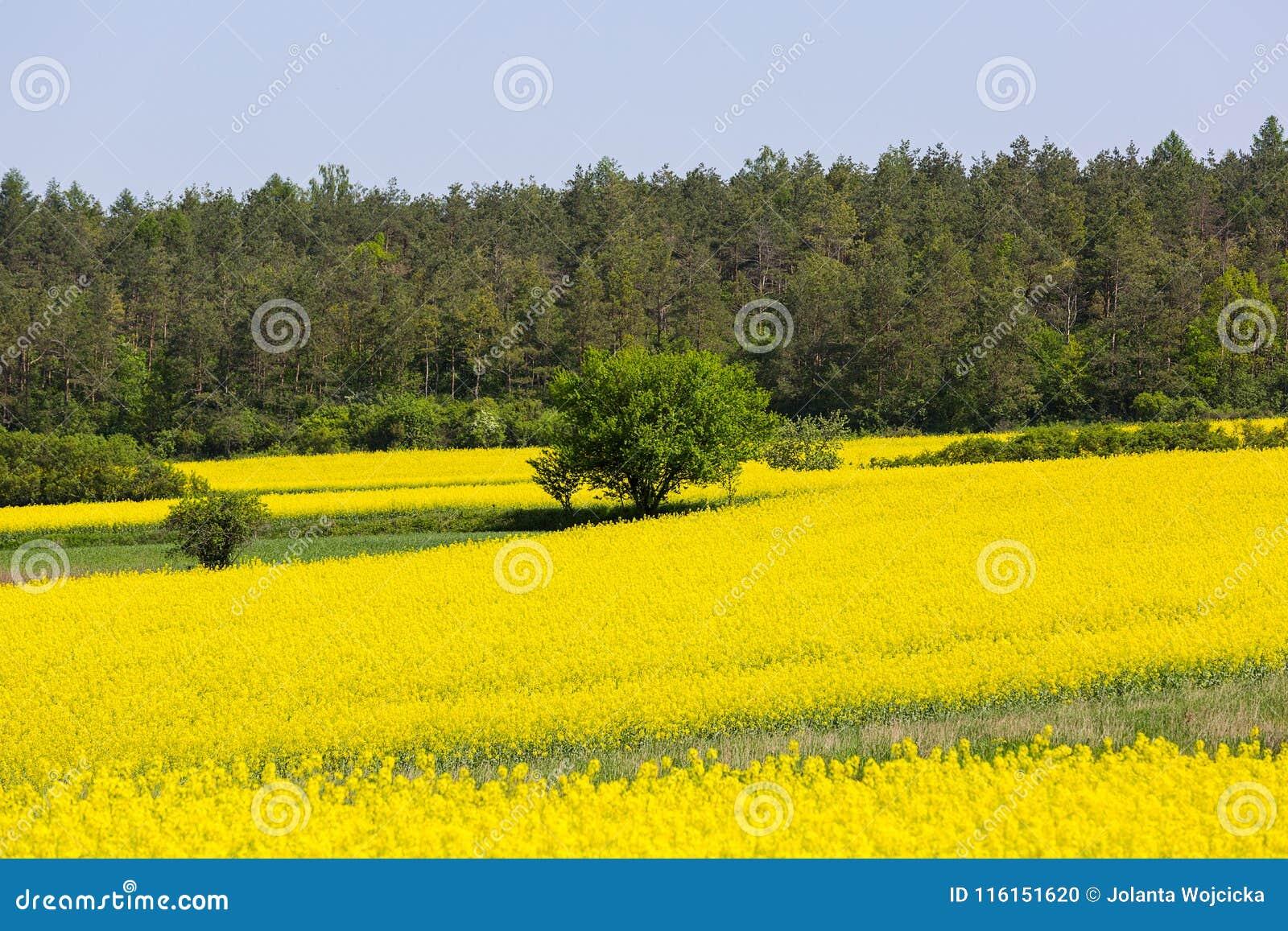 Fiori Gialli Coltivati.Campo Di Canola Di Fioritura Fiori Gialli Del Seme Di Ravizzone
