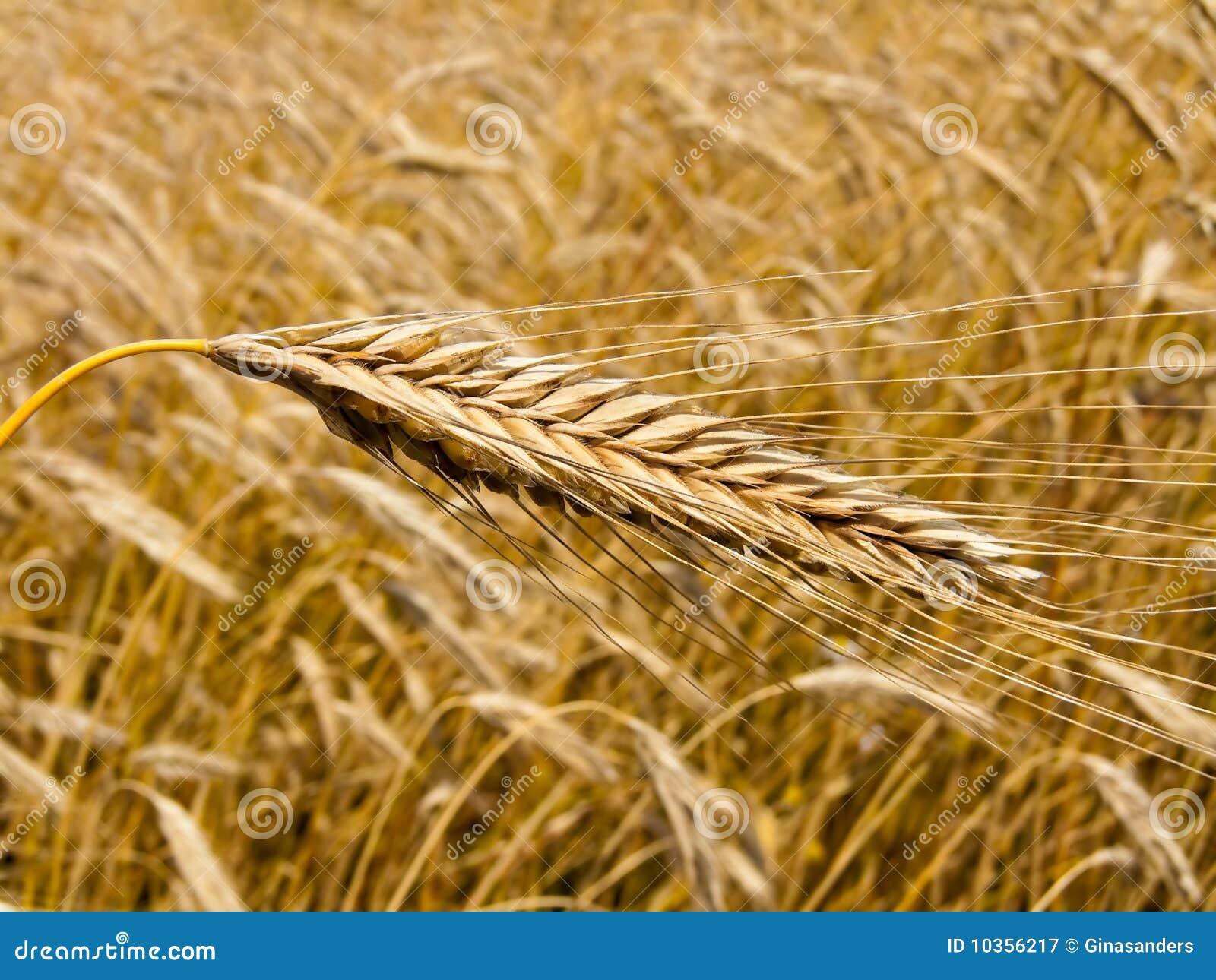 Campo di cereale con il punto dell orzo