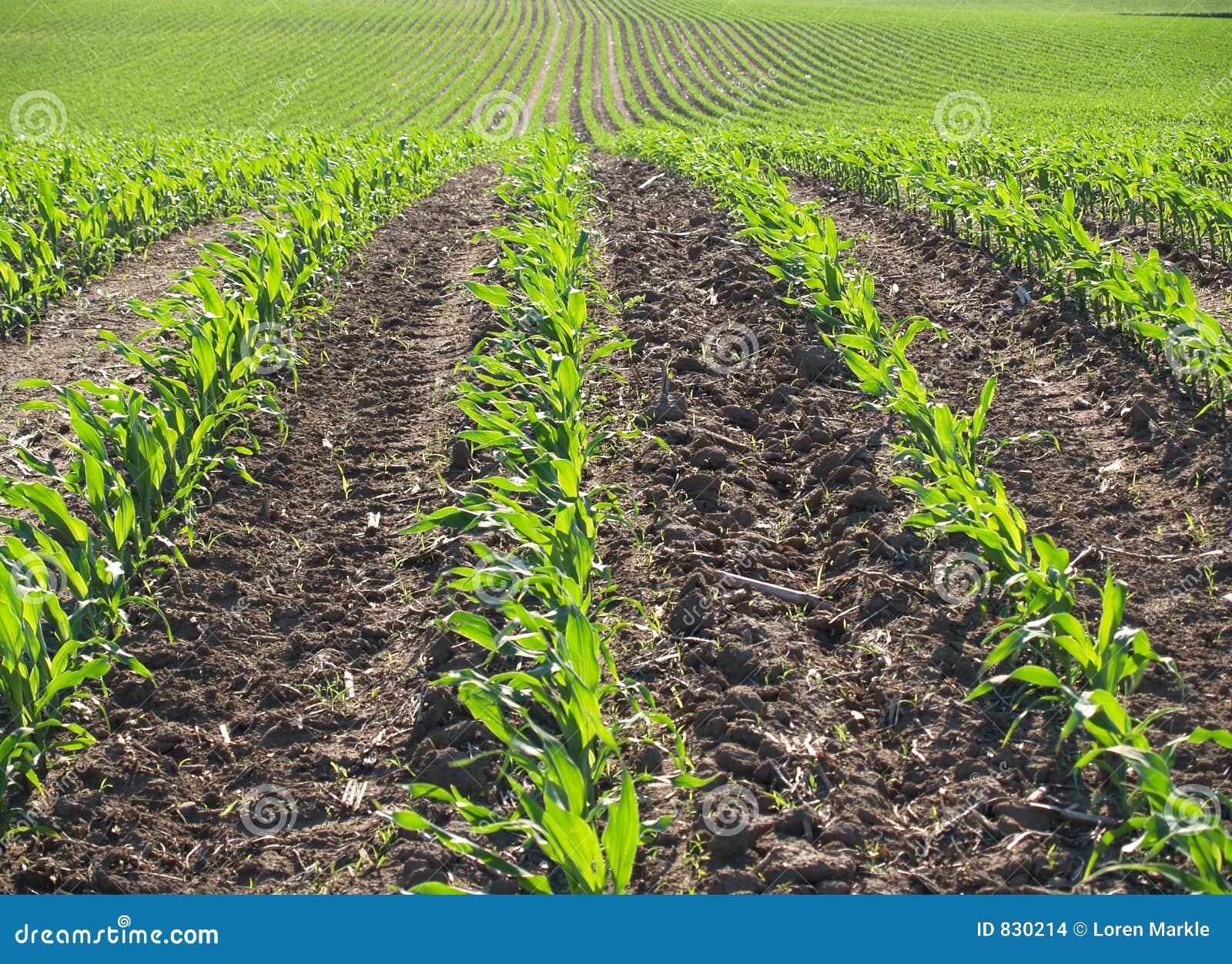 Campo di cereale della sorgente