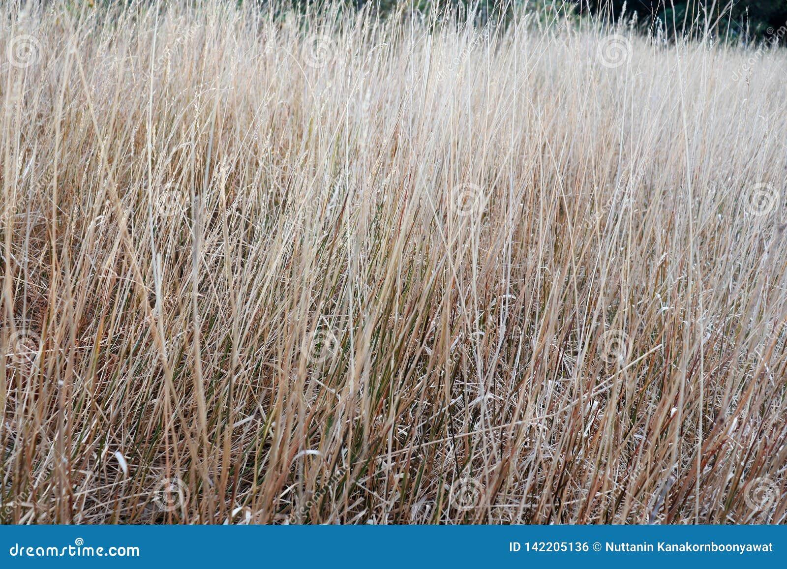 Campo di erba asciutta a Doi Intanono Chaingmai Tailandia