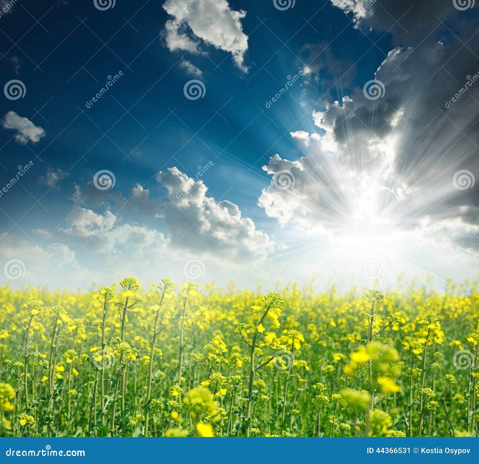 Campo di fioritura della violenza gialla ad alba