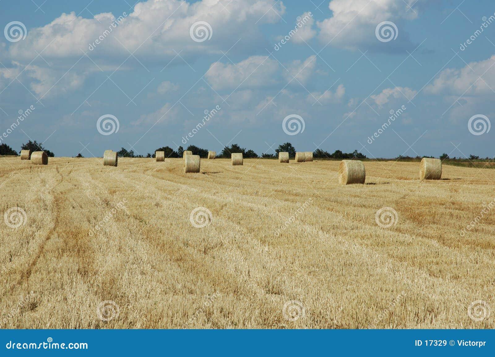 Campo di frumento 2