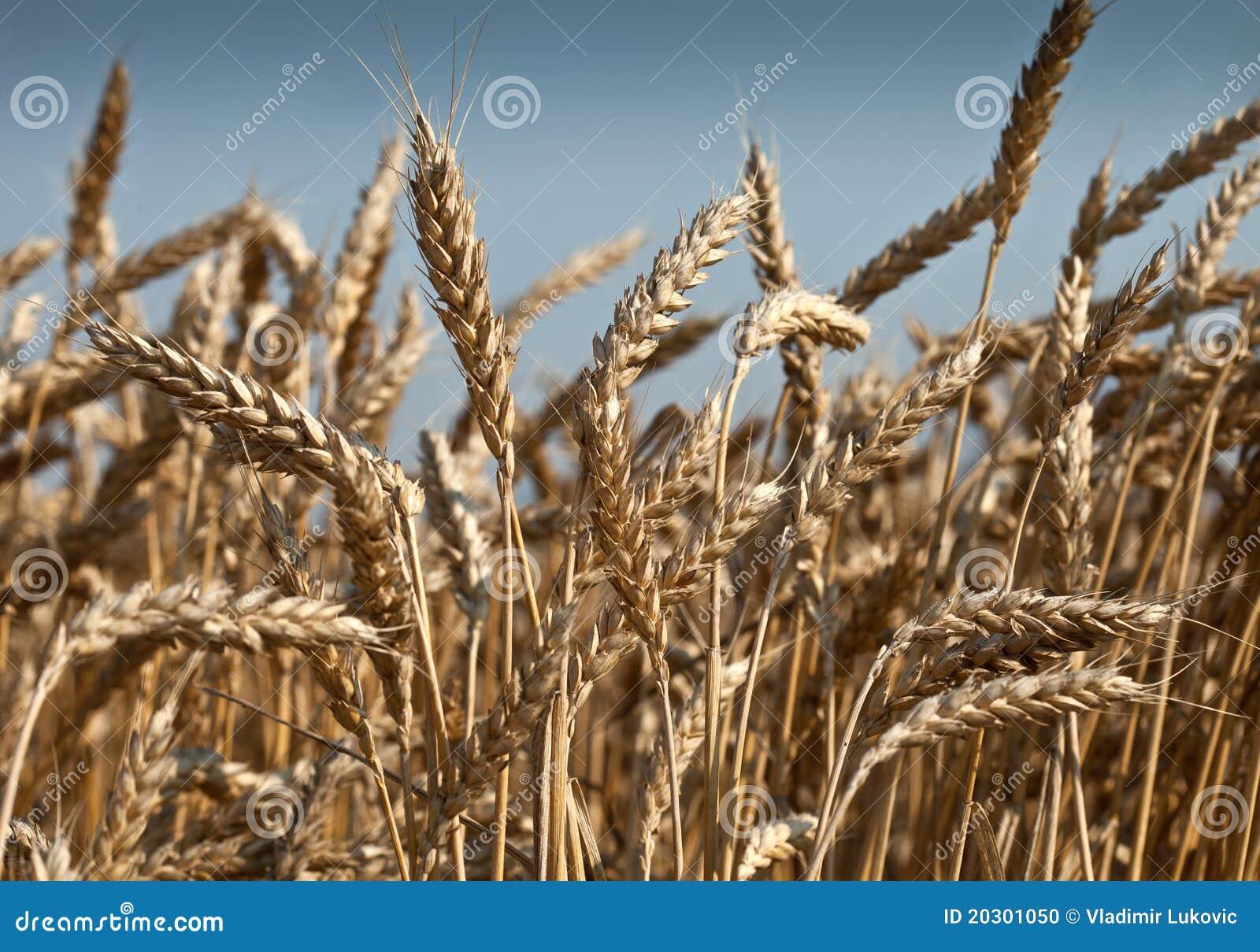 Campo di frumento