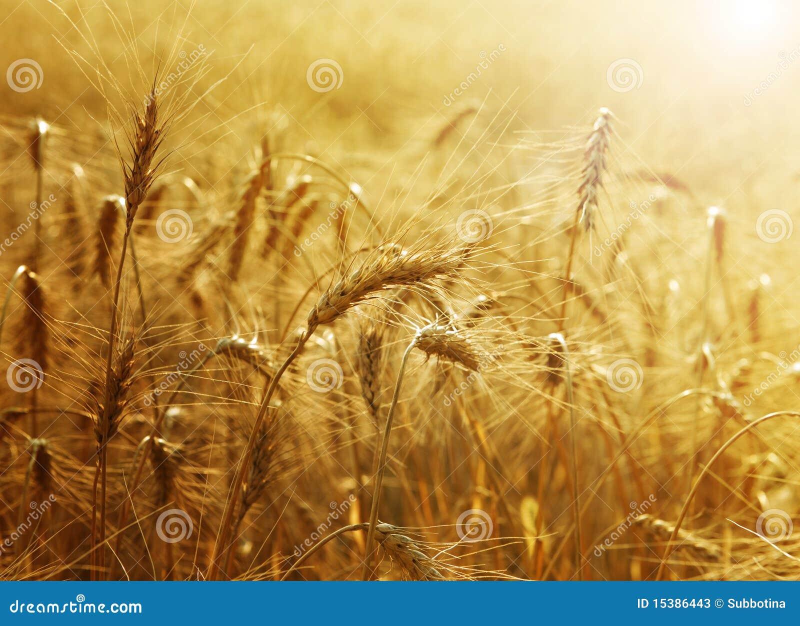 Campo di frumento dorato