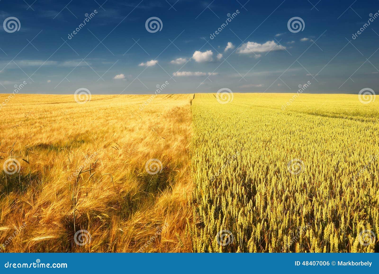 Campo di frumento dorato e cielo nuvoloso