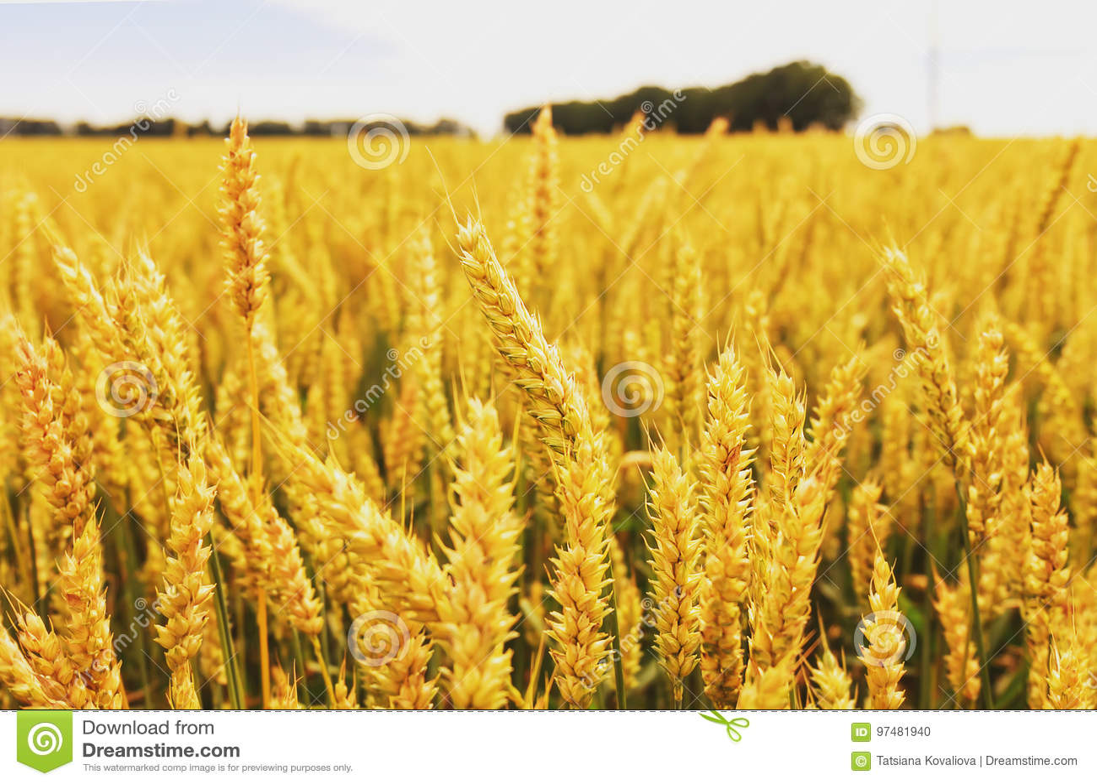 Campo di frumento Orecchie della fine dorata del grano su Bello paesaggio di tramonto della natura Paesaggio rurale nell ambito d