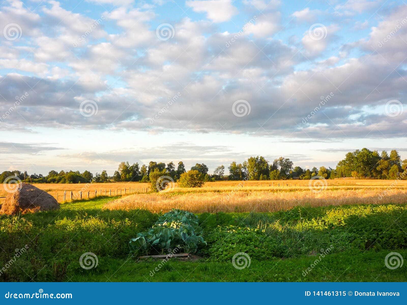Campo di grano del grano il giorno nuvoloso di estate Pila di fieno e di letti con le verdure nella priorità alta