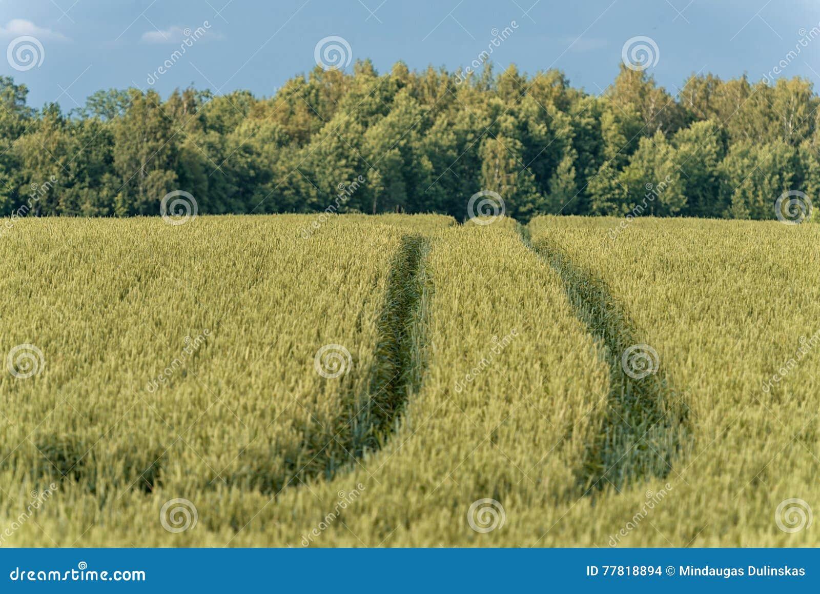 Campo di grano nella zona rurale lithuania