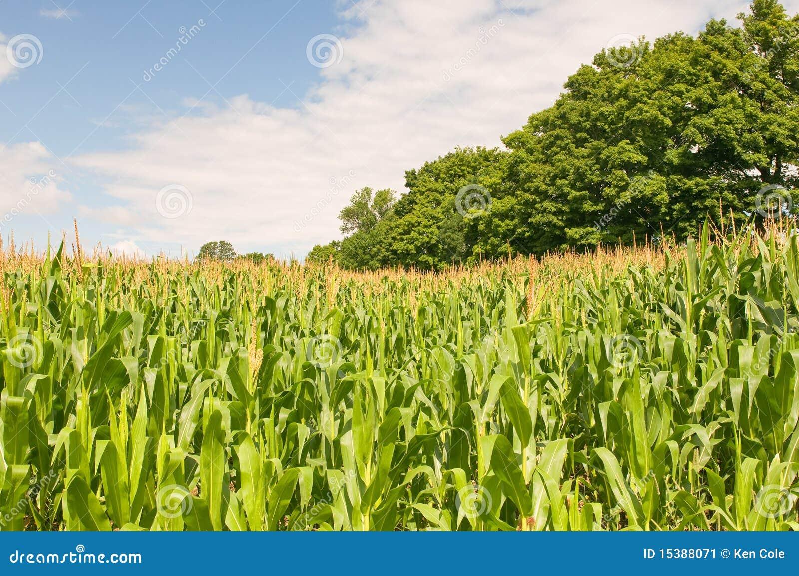 Campo di mais del paese