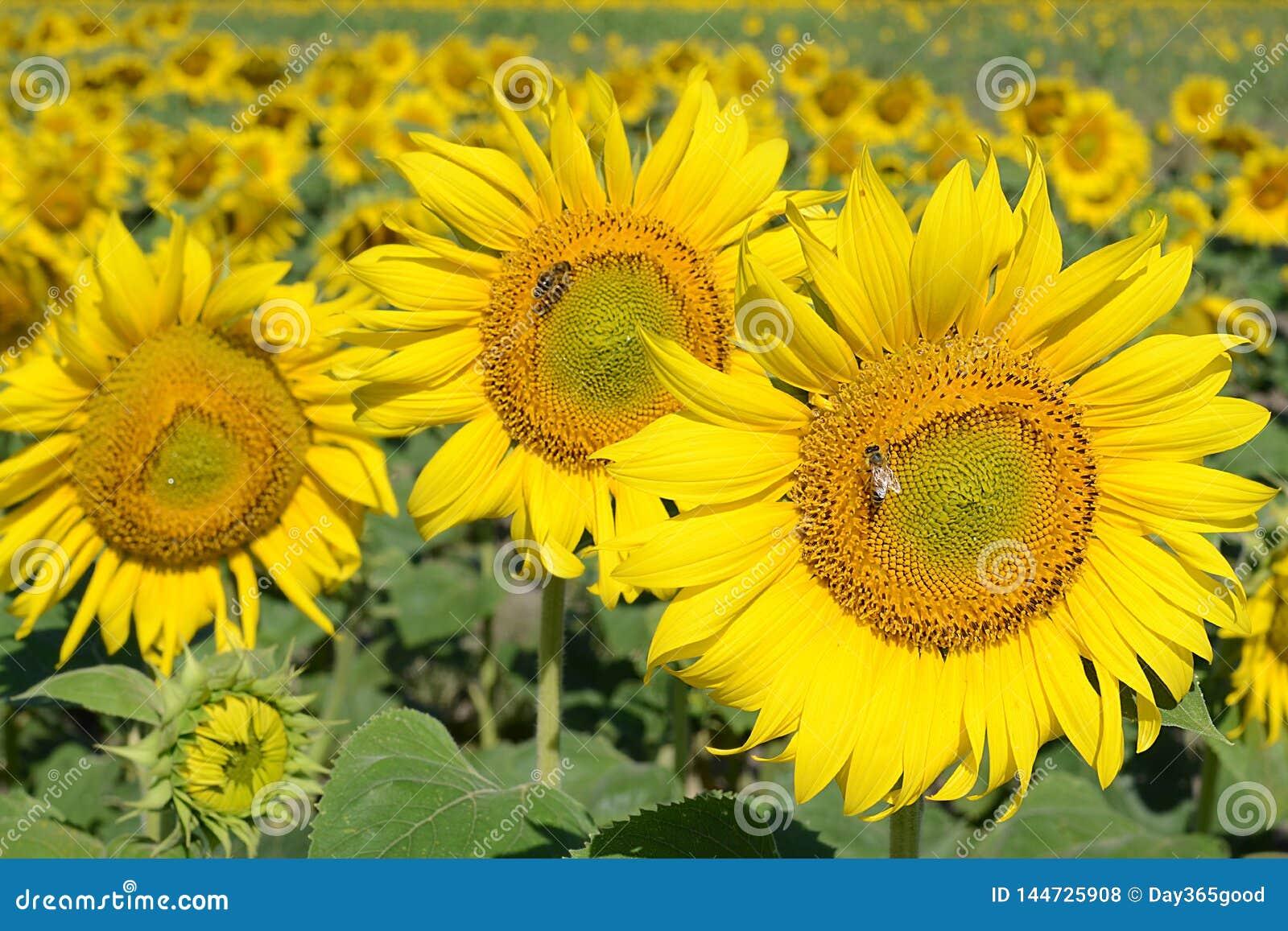 Campo di Sunflowers Le api raccolgono il miele ed il polline sui girasoli