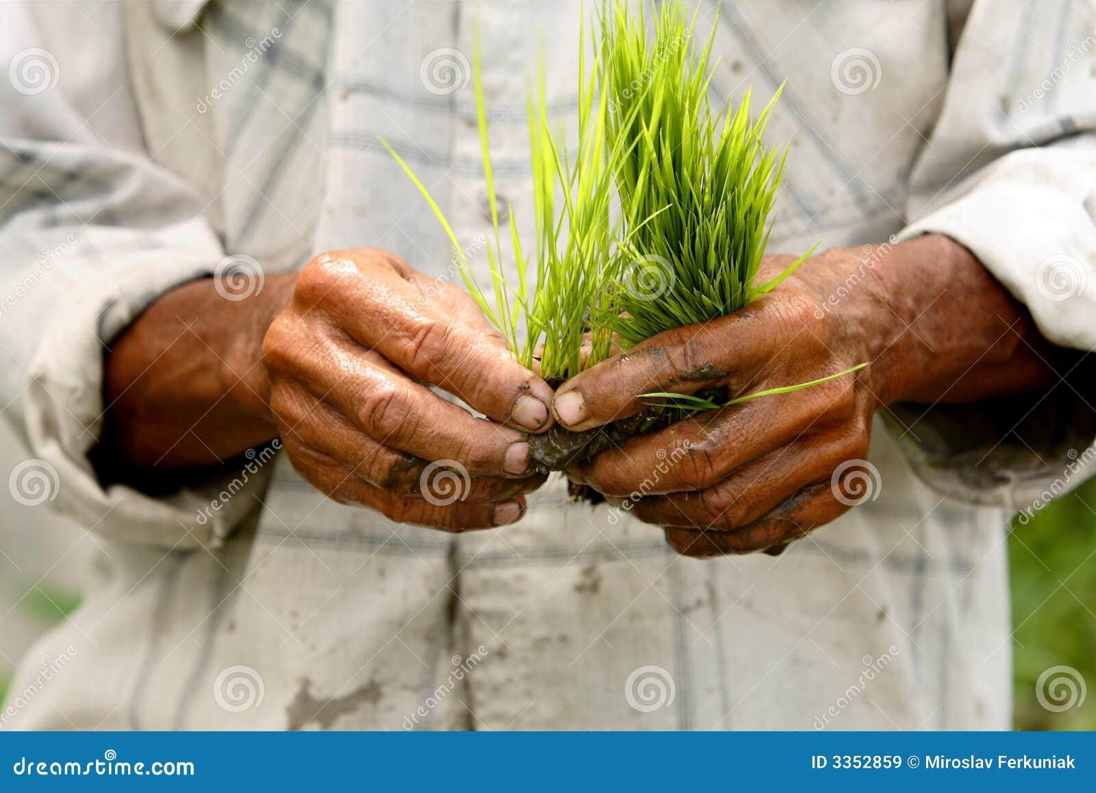 Campo do arroz