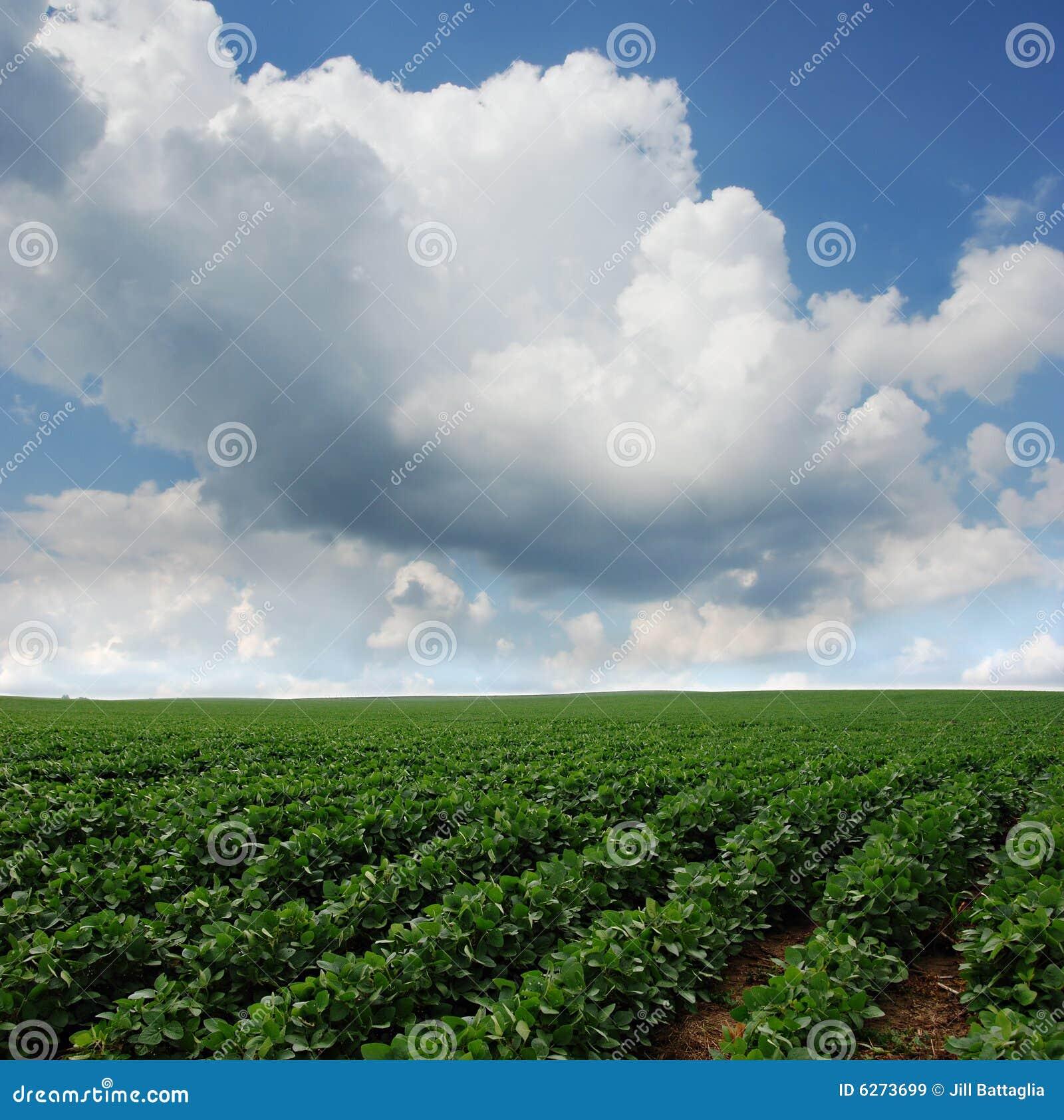 Campo do feijão de soja em South Dakota