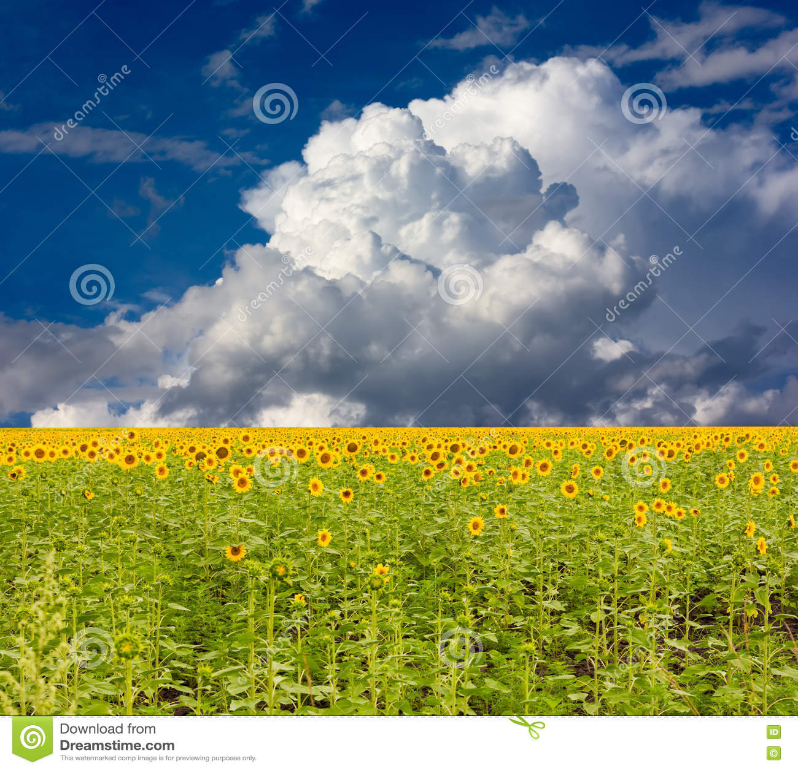Campo do girassol em um fundo do céu azul com nuvens de cúmulo